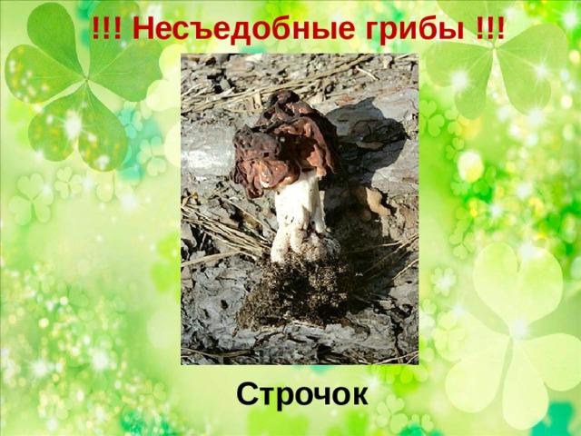 !!! Несъедобные грибы !!!   Строчок