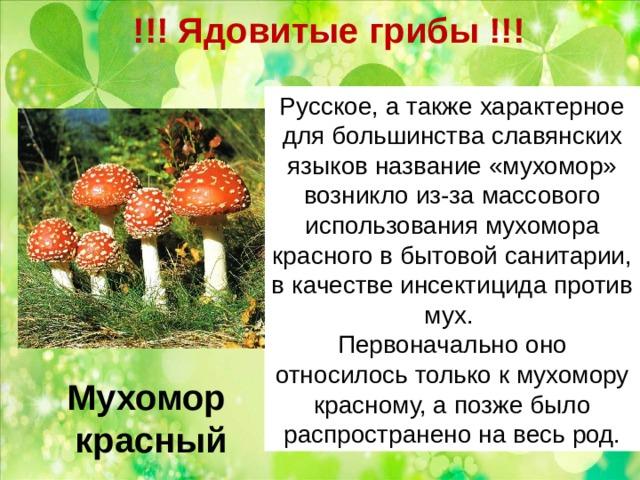 !!! Ядовитые грибы !!!   Русское, а также характерное для большинства славянских языковназвание «мухомор» возникло из-за массового использованиямухомора красного в бытовой санитарии, в качествеинсектицида против мух. Первоначально оно относилось только к мухомору красному, а позже было распространено на весь род. Мухомор  красный