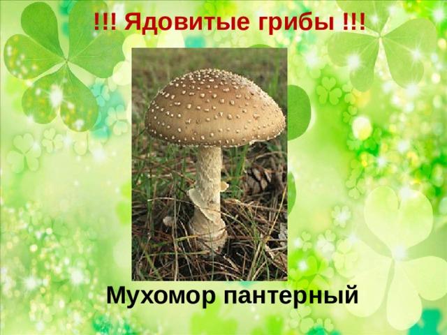 !!! Ядовитые грибы !!!   Мухомор пантерный