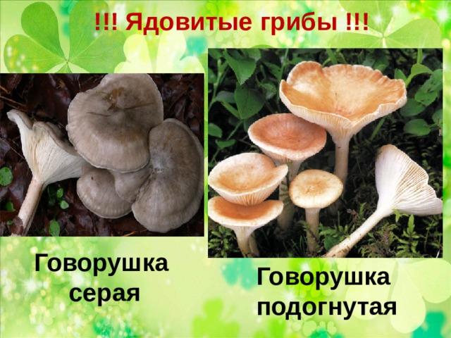 !!! Ядовитые грибы !!!   Говорушка серая Говорушка подогнутая