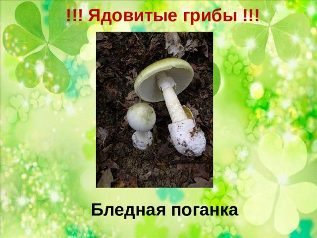 !!! Ядовитые грибы !!!   Бледная поганка