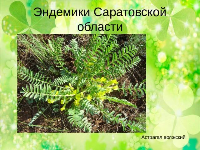 Эндемики Саратовской области Астрагал волжский
