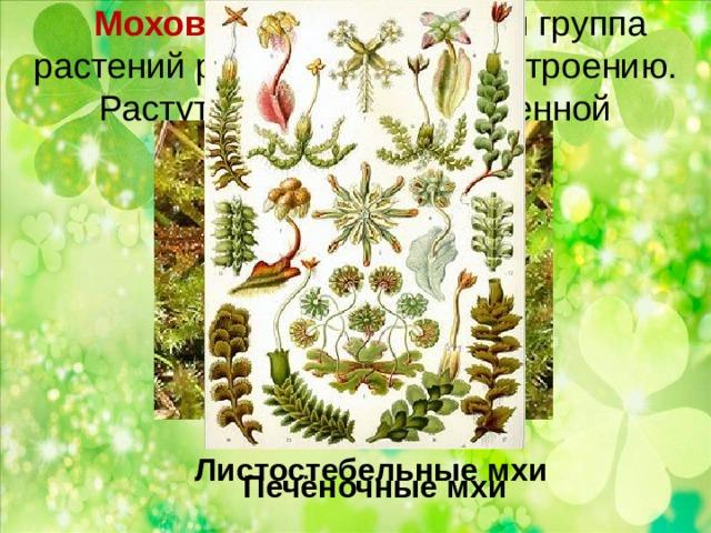Моховидные – обширная группа растений разнообразных по строению.  Растут в местах с повышенной влажностью.  153 вида Листостебельные мхи Печёночные мхи