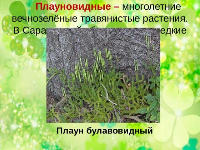 Плауновидные – многолетние вечнозелёные травянистые растения.  В Саратовской области очень редкие виды. Плаун булавовидный