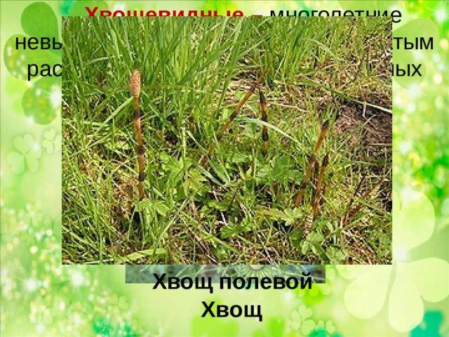 Хвощевидные – многолетние невысокие жёсткие травы с мутовчатым расположением мелких чешуевидных листьев.   Хвощ полевой Хвощ