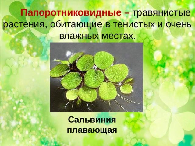 Папоротниковидные – травянистые растения, обитающие в тенистых и очень влажных местах.   Сальвиния плавающая