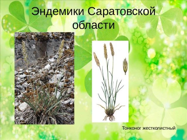 Эндемики Саратовской области Тонконог жестколистный