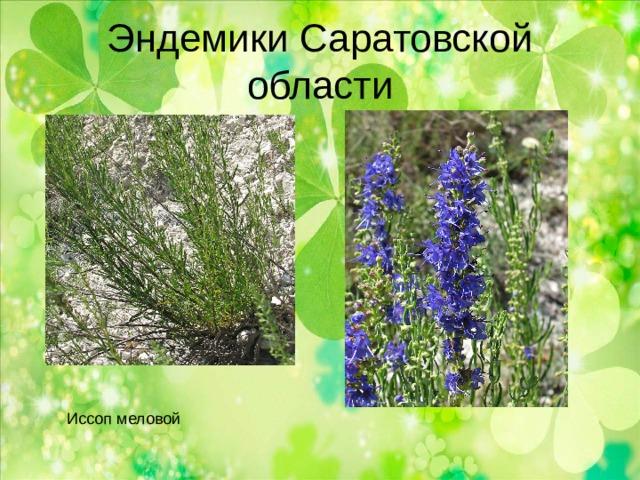Эндемики Саратовской области Иссоп меловой