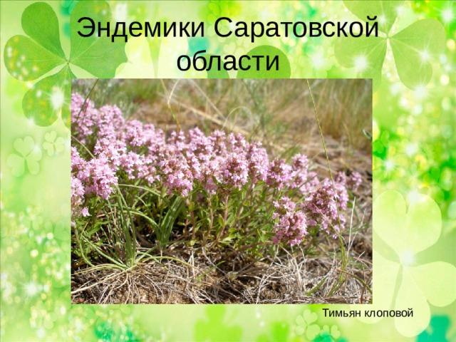 Эндемики Саратовской области Тимьян клоповой
