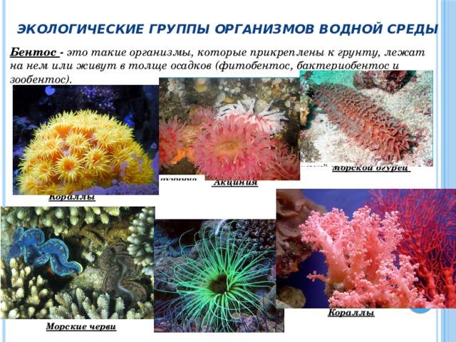 Экологические группы организмов водной среды Бентос - это такие организмы, которые прикреплены к грунту, лежат на нем или живут в толще осадков (фитобентос, бактериобентос и зообентос).      Морской огурец   Акциния  Кораллы         Кораллы  Морские черви
