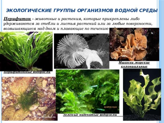 Экологические группы организмов водной среды Перифитон - животные и растения, которые прикреплены либо удерживаются за стебли и листья растений или за любые поверхности, возвышающиеся над дном и плавающие по течению воды.       Перифитонные водоросли        Зеленые нитчатые водоросли  Улотрикс                       Мшанки морские колониальные животные