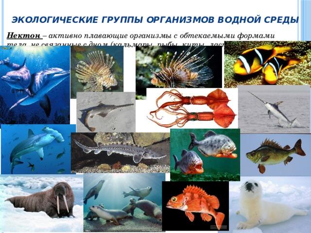 Экологические группы организмов водной среды Нектон – активно плавающие организмы с обтекаемыми формами тела, не связанные с дном (кальмары, рыбы, киты, ластоногие и др.).