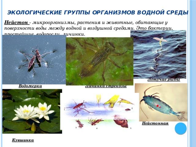 Экологические группы организмов водной среды Нейстон - микроорганизмы, растения и животные, обитающие у поверхности воды между водной и воздушной средами. Это бактерии, простейшие, водоросли, личинки.       Летучие рыбы  Водомерка  Личинка стрекозы       Нейстонная копепода   Кувшинка