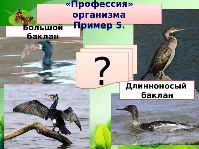 «Профессия» организма Пример 5. Большой баклан ? Длинноносый баклан