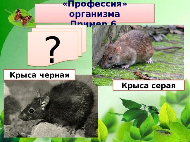 «Профессия» организма Пример 6. ? Крыса черная Крыса серая