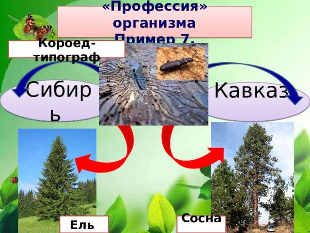 «Профессия» организма Пример 7. Короед-типограф Сибирь Кавказ Ель Сосна