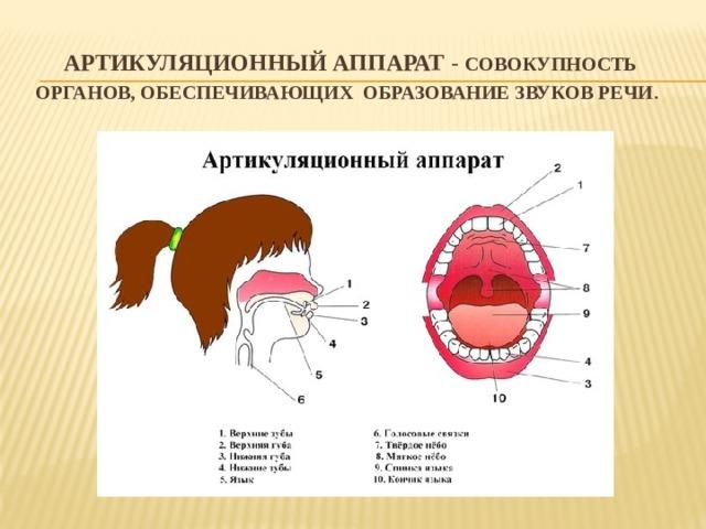 Артикуляционный аппарат - совокупность органов, обеспечивающих образование  звуков речи .
