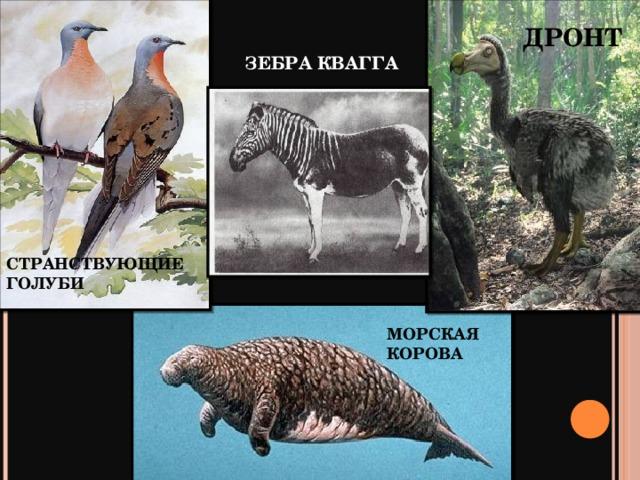 ДРОНТ ЗЕБРА КВАГГА СТРАНСТВУЮЩИЕ ГОЛУБИ МОРСКАЯ КОРОВА