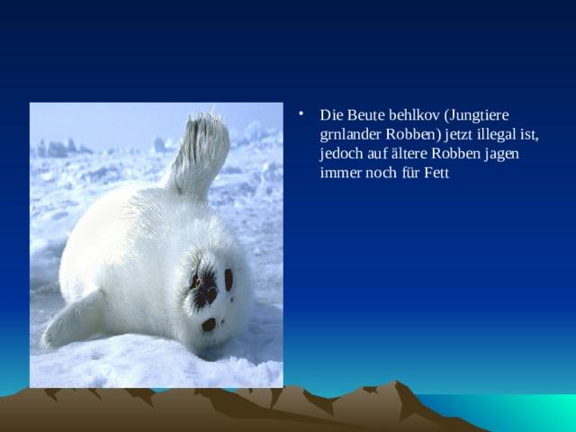 Die Beute behlkov (Jungtiere grnlander Robben) jetzt illegal ist, jedoch auf ältere Robben jagen immer noch für Fett