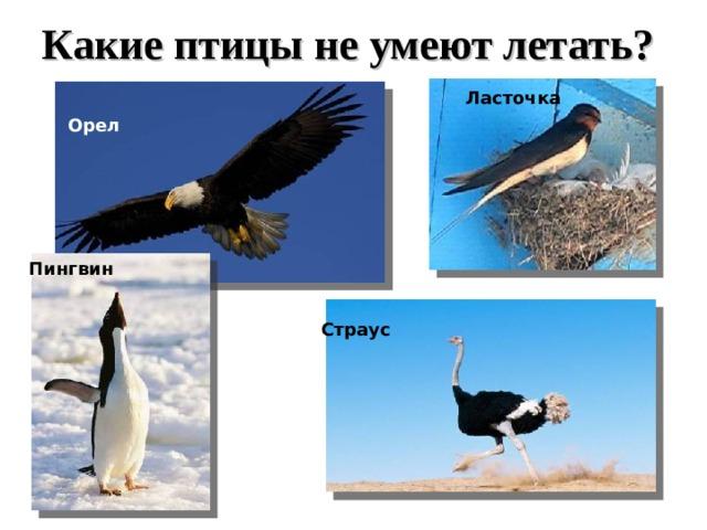 Какие птицы не умеют летать?  Ласточка  Орел Пингвин Страус