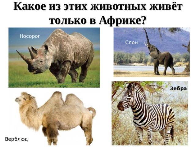 Какое из этих животных живёт  только в Африке? Носорог Слон Зебра Верблюд 16