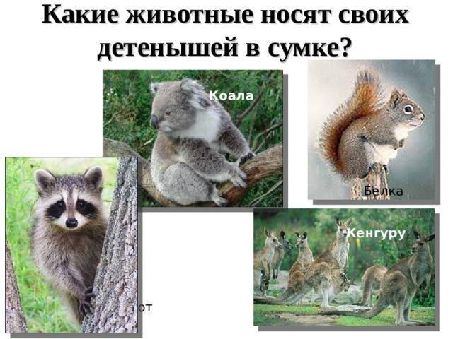 Какие животные носят своих детенышей в сумке? Коала Белка Кенгуру Енот