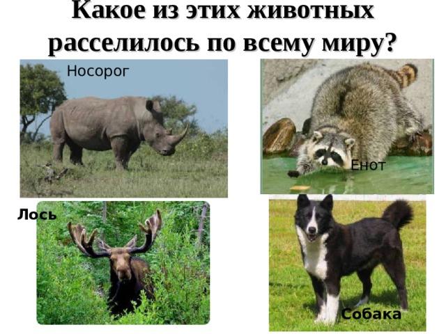 Какое из этих животных расселилось по всему миру? Носорог Енот Лось Собака