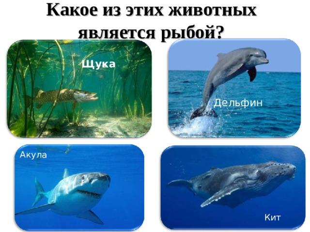 Какое из этих животных является рыбой? Щука Дельфин Акула Кит