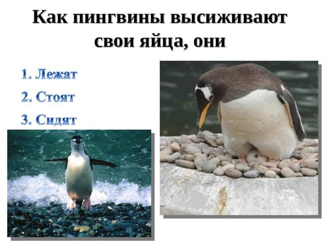 Как пингвины высиживают свои яйца, они