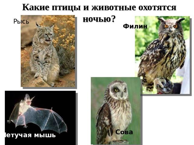 Какие птицы и животные охотятся ночью? Рысь Филин Сова Летучая мышь