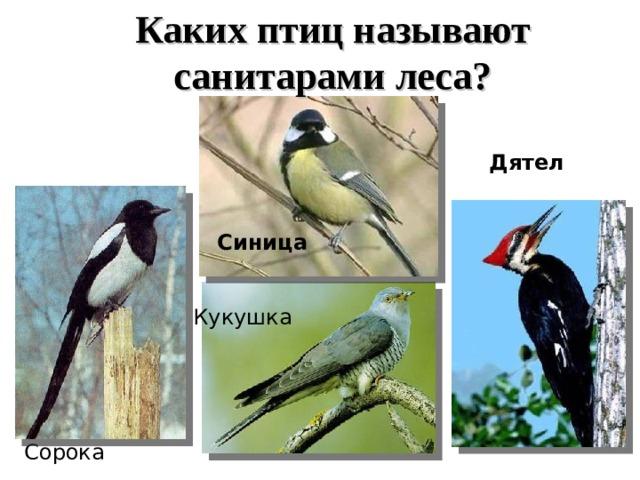 Каких птиц называют санитарами леса? Дятел Синица Кукушка Сорока