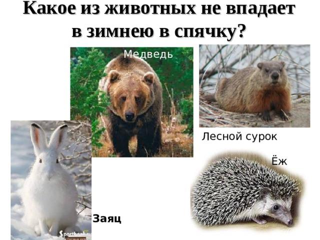 Какое из животных не впадает в зимнею в спячку? Медведь Лесной сурок Ёж Заяц