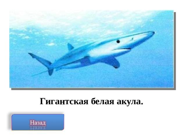 Гигантская белая акула.