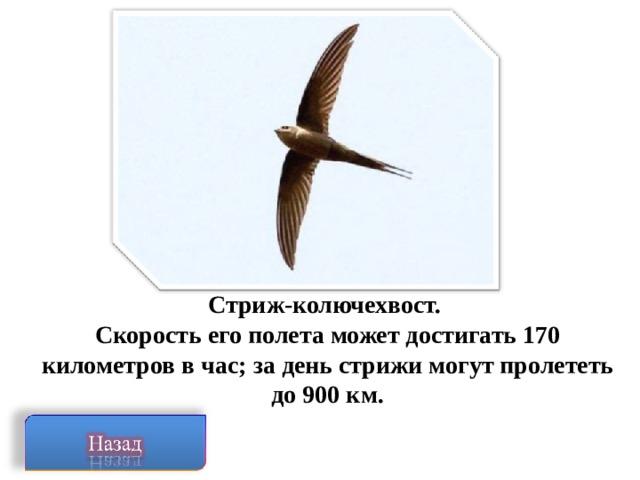 Стриж-колючехвост. Скорость его полета может достигать 170 километров в час; за день стрижи могут пролететь до 900 км.