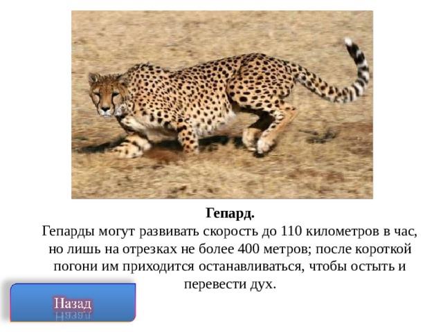 Гепард. Гепарды могут развивать скорость до 110 километров в час, но лишь на отрезках не более 400 метров; после короткой погони им приходится останавливаться, чтобы остыть и перевести дух.