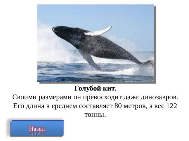 Голубой кит. Своими размерами он превосходит даже динозавров. Его длина в среднем составляет 80 метров, а вес 122 тонны.