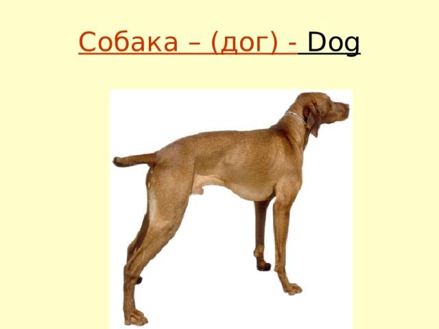 Собака – (дог) - Dog
