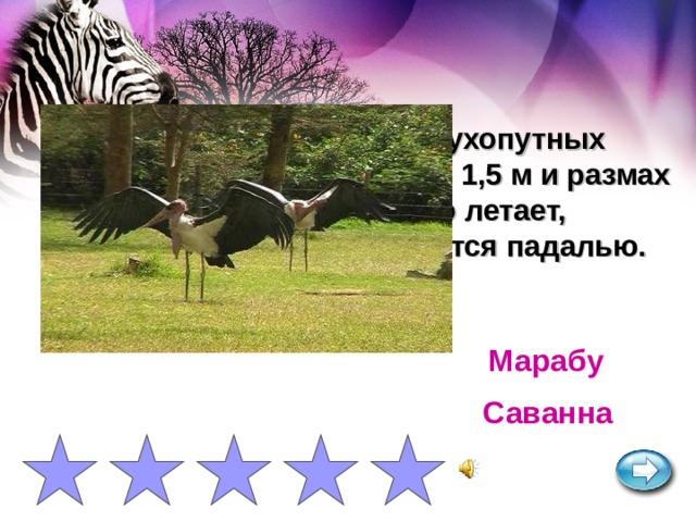Одна из самых крупных сухопутных летающих птиц. Высота до 1,5 м и размах крыльев до 3 м. Прекрасно летает, обитает около воды, питается падалью. Марабу Саванна