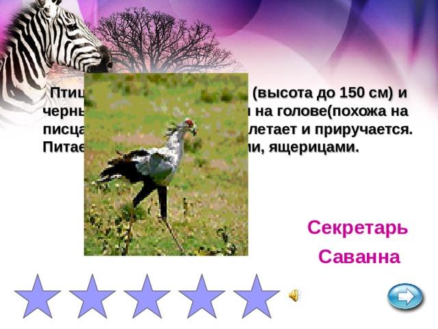 Птица с длинными ногами (высота до 150 см) и черным длинным хохолком на голове(похожа на писца-чиновника). Хорошо летает и приручается. Питается змеями, грызунами, ящерицами. Секретарь Саванна
