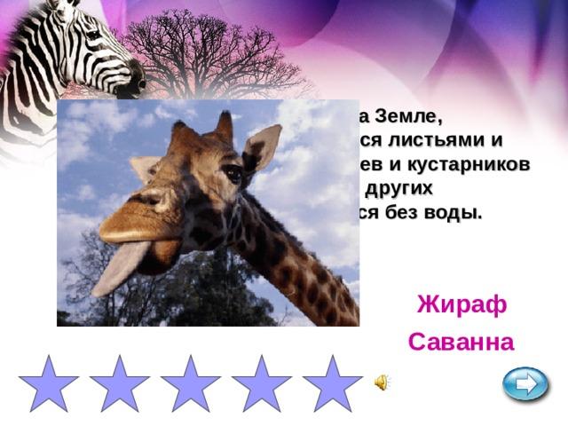 Самое высокое животное на Земле, достигающее 5-5,5 м. Питается листьями и молодыми побегами деревьев и кустарников на высоте, недоступной для других животных. Подолгу обходится без воды. Жираф Саванна