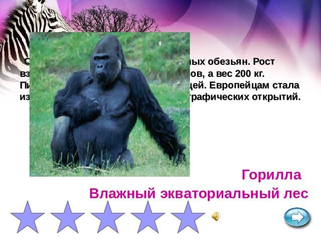 Самая крупная из человекообразных обезьян. Рост взрослых самцов достигает 2 метров, а вес 200 кг. Питается только растительной пищей. Европейцам стала известна после эпохи Великих географических открытий. Горилла Влажный экваториальный лес