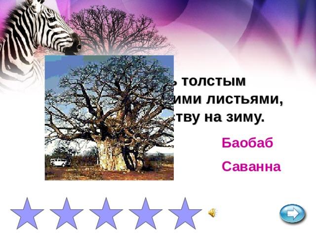 Дерево с очень толстым стволом и мелкими листьями, сбрасывает листву на зиму. Баобаб Саванна