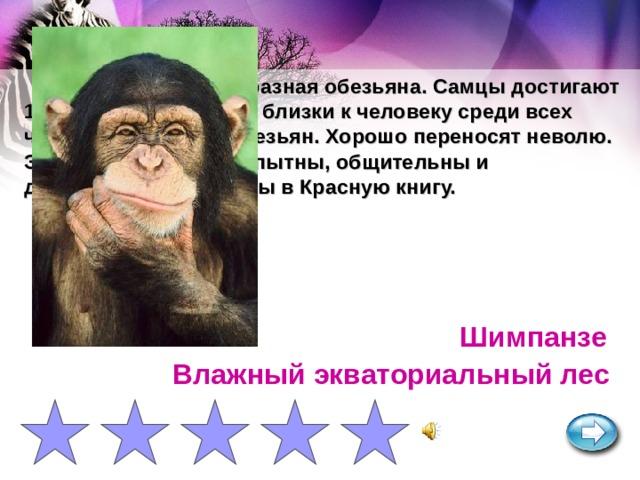 Крупная человекообразная обезьяна. Самцы достигают 1,5 м и 80 кг. Наиболее близки к человеку среди всех человекообразных обезьян. Хорошо переносят неволю. Эмоциональны, любопытны, общительны и дружелюбны. Занесены в Красную книгу. Шимпанзе Влажный экваториальный лес