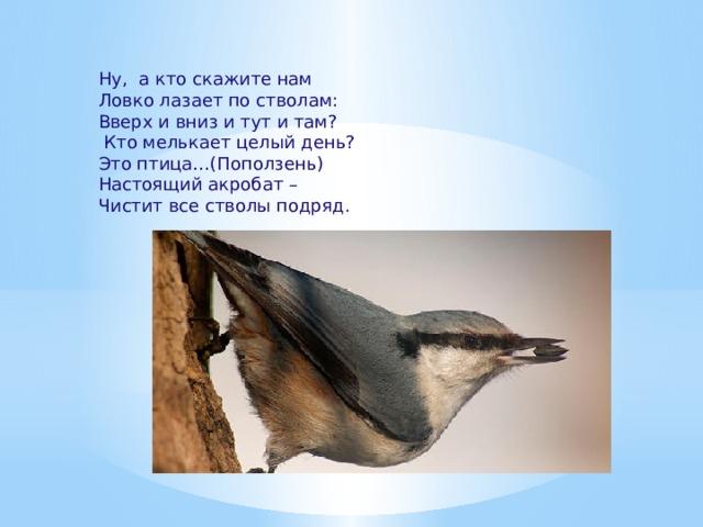 Ну, а кто скажите нам Ловко лазает по стволам: Вверх и вниз и тут и там?  Кто мелькает целый день? Это птица…(Поползень) Настоящий акробат – Чистит все стволы подряд.