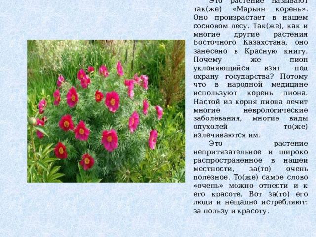 Это растение называют так(же) « Марьин корень » . Оно произрастает в нашем сосновом лесу. Так(же), как и многие другие растения Восточного Казахстана, оно занесено в Красную книгу. Почему же пион уклоняющийся взят под охрану государства? Потому что в народной медицине используют корень пиона. Настой из корня пиона лечит многие неврологические заболевания, многие виды опухолей то(же) излечиваются им.  Это растение непритязательное и широко распространенное в нашей местности, за(то) очень полезное. То(же) самое слово « очень » можно отнести и к его красоте. Вот за(то) его люди и нещадно истребляют: за пользу и красоту.