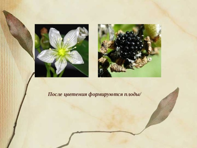 После цветения формируются плоды/
