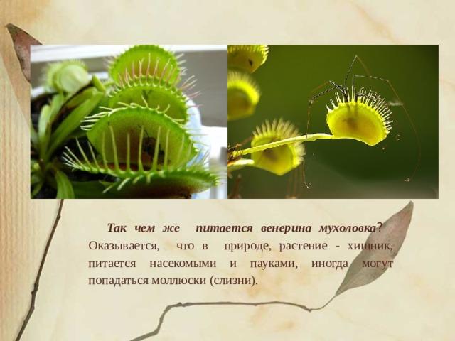Так чем же питается венерина мухоловка ?   Оказывается, что в природе, растение - хищник, питается насекомыми и пауками, иногда могут попадаться моллюски (слизни).
