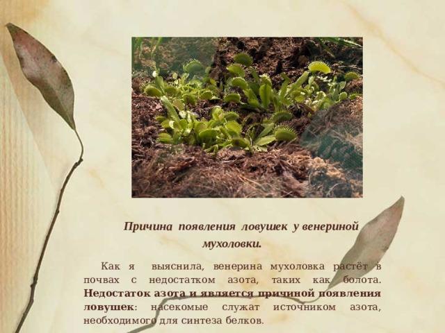 Причина появления ловушек у венериной мухоловки. Как я выяснила, венерина мухоловка растёт в почвах с недостатком азота, таких как болота. Недостаток азота и является причиной появления ловушек : насекомые служат источником азота, необходимого для синтеза белков .