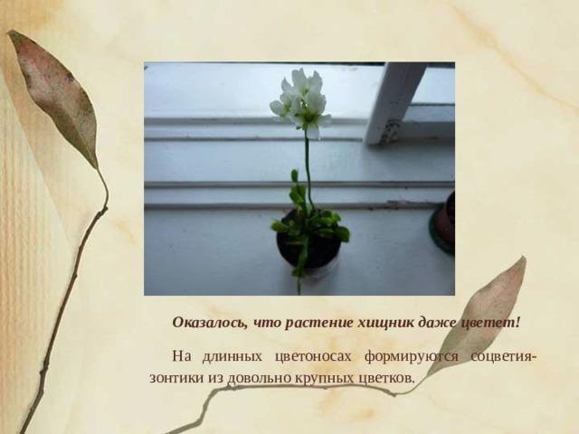 Оказалось, что растение хищник даже цветет! На длинных цветоносах формируются соцветия-зонтики из довольно крупных цветков.
