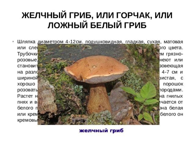 Желчный гриб, или горчак, или ложный белый гриб
